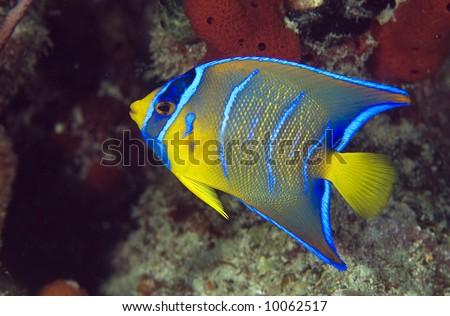 Queen Angelfish-Holacanthus ciliaris
