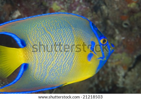 Queen Angelfish-Holacanthus ciliaris