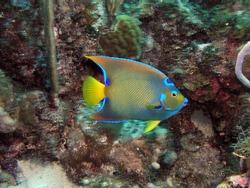 Queen angelfish in Bay of Pigs, Cuba, underwater photograph