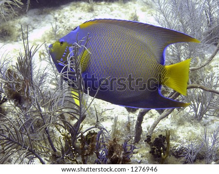 Queen angelfish in coral