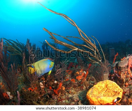 Queen Angelfish with gorgonian