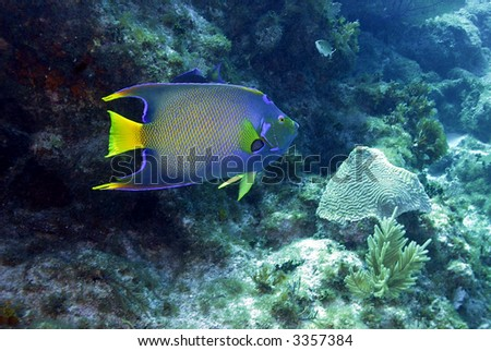 Queen angelfish with rocky coral backdrop