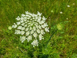 Queen Anne's Lace (Daucus carota) bloom. This is also known as a wild carrot or heirloom carrot. It is an edible plant that can be foraged in your back yard!