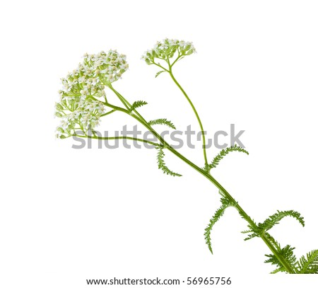 Queen Anne's Lace (Wild Carrot) Daucus carota