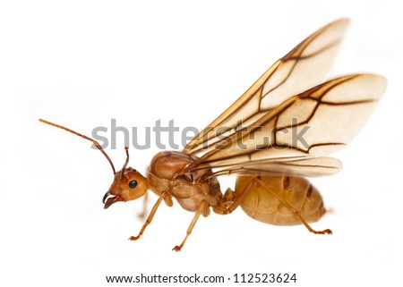 Queen Ants With Wings Queen AntQueen Fire Ant With Wings