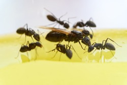 queen ant communicating with smaller ones close up