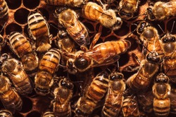 Queen bee surrounded by bees