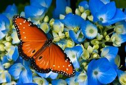 Queen butterfly (danaus gilippus) on blue hydrangea flowers