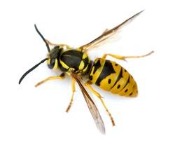 Queen Eastern Yellowjacket Wasp (Vespula maculifrons).