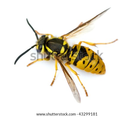 Queen Eastern Yellowjacket Wasp (Vespula maculifrons).