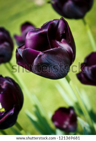 Queen of the Night tulips, otherwise known as black tulips