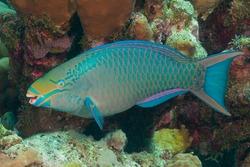 Queen parrotfish, blownose, blue chub, blue parrotfish, blueman, joblin crow parrot, moontail, okra peji or slimy head (Scarus vetula) Bonaire, Leeward Islands