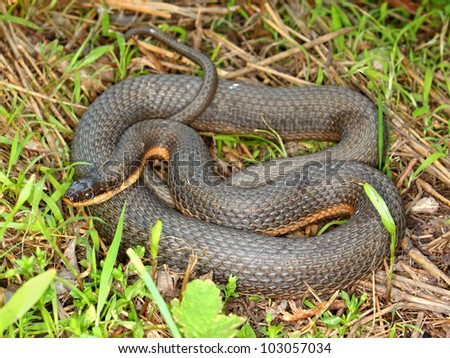 Queen Snake (Regina septemvittata) in the Des Plaines River valley of northeastern Illinois