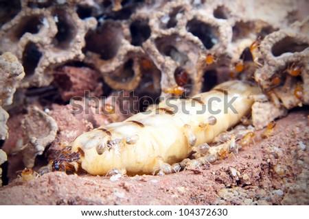 Queen termite