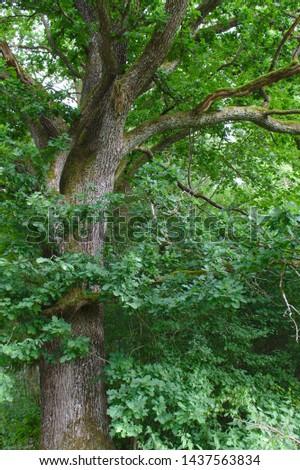 Quercus robur - common oak, pedunculate oak, European oak or English oak - in summer #1437563834
