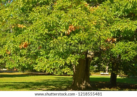 Quercus rubra (Quercus borealis), commonly called northern red oak or champion oak, is oak in red oak group (Quercus section Lobatae) #1218555481