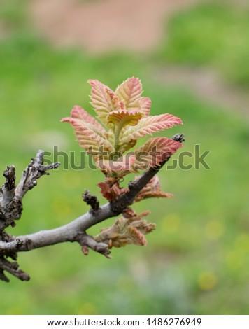querscus brantii oak leaf in spring Stok fotoğraf ©