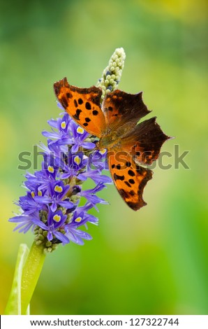 Question Mark butterfly (Polygonia interrogationis) on Pickerelweed (Pontederia cordata) flowers. Natural green background with copy space.