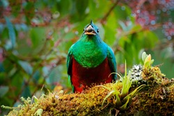 Quetzal feeding fruit, Pharomachrus mocinno, from  nature Costa Rica with green forest. Magnificent sacred mistic green and red bird. Resplendent Quetzal in jungle. Widlife scene from Costa Rica.