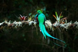 Quetzal, Pharomachrus mocinno, from  nature Costa Rica with green forest. Magnificent sacred mistic green and red bird. Resplendent Quetzal in jungle habitat. Widlife scene from Costa Rica.