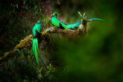 Quetzal, Pharomachrus mocinno, from nature Costa Rica with pink flower forest. Magnificent sacred mystic green and red bird. Two Resplendent Quetzal in jungle habitat. Wildlife scene from Costa Rica.