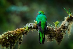 Quetzal, Pharomachrus mocinno, from  nature Nicaragua with green forest. Magnificent sacred mistic green and red bird. Resplendent Quetzal in jungle habitat. Widlife scene from Nicaragua.