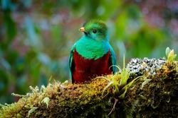 Quetzal, Pharomachrus mocinno, from  nature Panama with green forest. Magnificent sacred mistic green and red bird. Resplendent Quetzal in jungle habitat. Widlife scene from Panama.