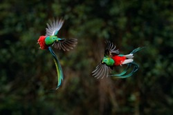 Quetzal, Pharomachrus mocinno, from tropic in Costa Rica with green forest, two birds fly fight. Magnificent sacred green and red bird, very long tail. Resplendent Quetzal in flight,wildlife nature.
