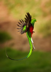 Quetzal - Pharomachrus mocinno male - bird in the trogon family, found from Chiapas, Mexico to western Panama, well known for its colorful plumage, eating wild avocado. Flying green nesting bird.