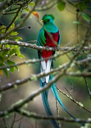 Quetzal - Pharomachrus mocinno male - bird in the trogon family. It is found from Chiapas, Mexico to western Panama. It is well known for its colorful plumage, eating wild avocado.