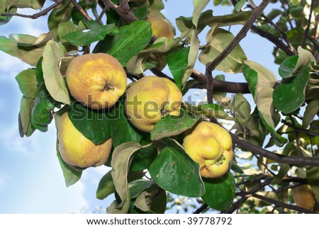 quince fruits ready to harvest