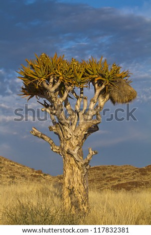 Quiver tree at sundown in Namibia