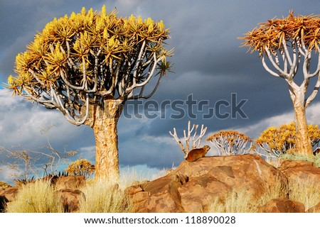 Quiver tree forest landscape. Kokerbooms in Namibia, South Africa. African nature