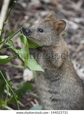 the gallery for gt quokka eating