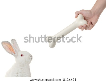 Rabbit being lured by a bone isolated on white background