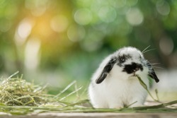 rabbit eating grass with bokeh background, bunny pet, holland lop