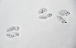 Rabbit footprint in the snow