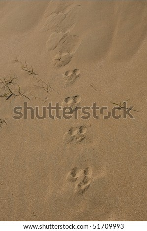 Picture of Rabbit Footprint http://www.shutterstock.com/pic-51709993/stock-photo-rabbit-footprints-on-sand.html
