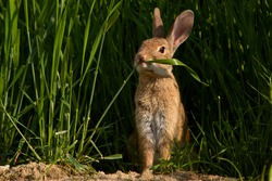 Rabbit in farm field eating wheat plants in the countryside with selective focus. Oryctolagus cuniculus.