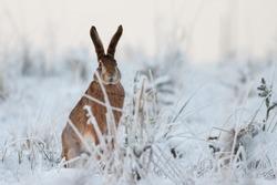 Rabbit in winter, European hare (Lepus europaeus), Slovakia