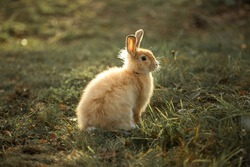 Rabbit on the grass in the rays of sunlight. Farm and rabbits. Pets on the lawn. Image with selective focus.