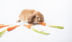 Rabbit Ram breed, brown color, isolated on white background. Rabbit Ram breed with little carrot orange color.