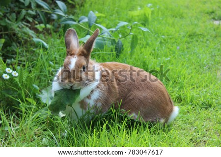 Rabbit sitting on meadow & eating green leaf. Close up bunny rabbit eating on farm garden background. Red white bunny rabbit eating grass on lawn. Cute sweet lovely furry bunny in summer sunny day