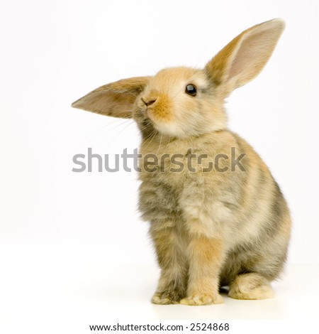 Rabbit watching the camera in front of a white background