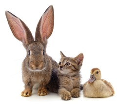 Rabbit with a kitten and a duckling isolated on a white background.