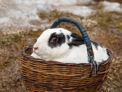 Rabbit with mottled hair in wooden basket.