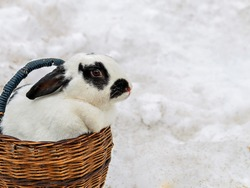 Rabbit with mottled hair in wooden basket standing in snow.