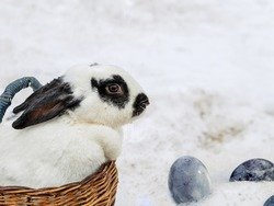 Rabbit with mottled hair in wooden basket standing in snow. Painted chicken eggs in snow.