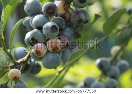 Rabbiteye Blueberry farm