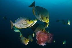 Rabbitfish fish eating jellyfish underwater